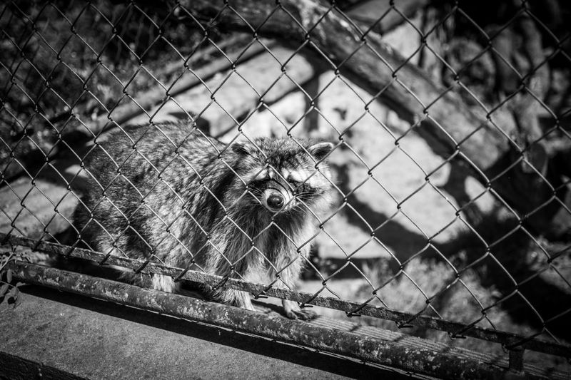 See him walking from left to right? Every single day? Begging for food, washing it and climbing the single branch in his small cage. He is happy. Im pretty sure… via http://www.rhme.de/prisoner/ Animal Despair Blackandwhite Sad & Lonely