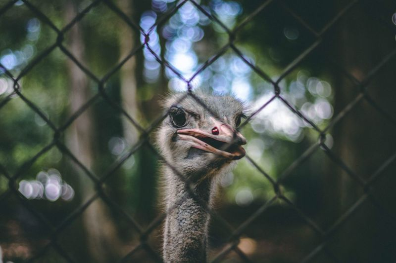 Ostrich looking