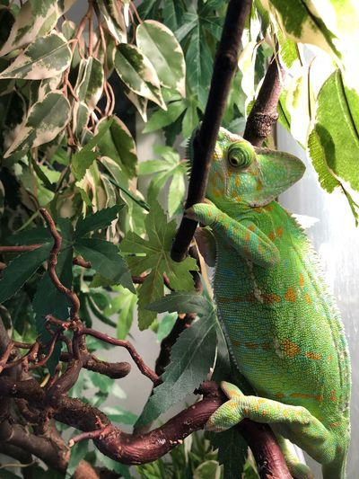 Green Color Animals In The Wild Animal Themes Reptile One Animal No People Tree