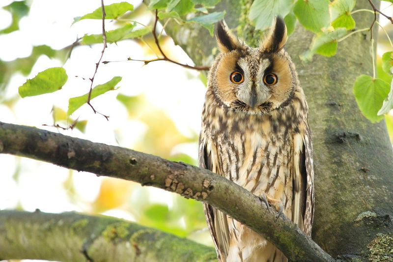 Great horned owl perching on tree