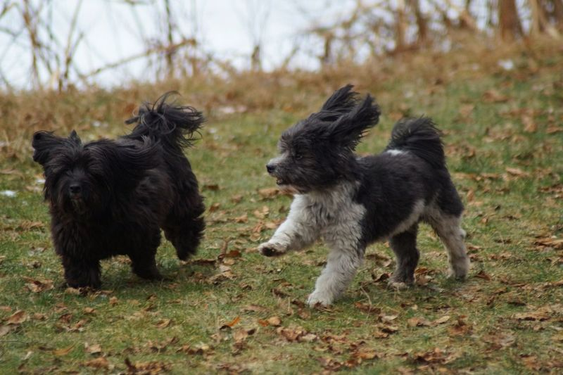 Two Little Cheerful Doggies Homoured Dogs Dwarf Poodles Jumping Around Animal Themes Young Animal Black Color Togetherness Nature Field Grass Outdoors Day No People Germany🇩🇪 Pet Portraits