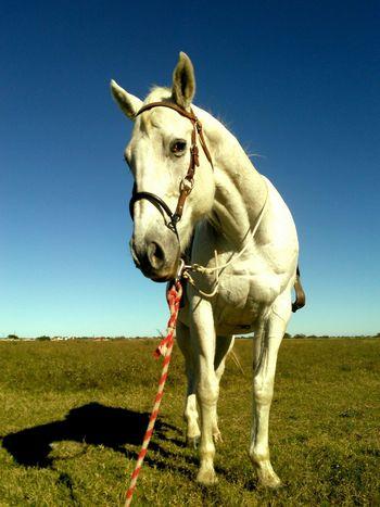 Showcase: December Mr. Heavenly Heyyyyyyyyy Lets Go For A Ride!! Quarter Horse Model Pose Big White Horse Racer Animal Photography Animal_collection