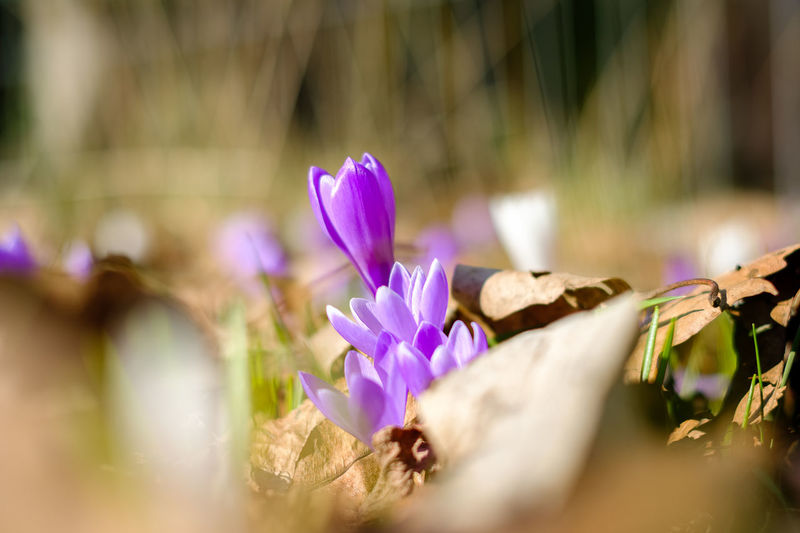 Animal Themes Beauty In Nature Blooming Close-up Crocus Day Flower Flower Head Fragility Freshness Growth Nature No People Outdoors Petal Plant Selective Focus