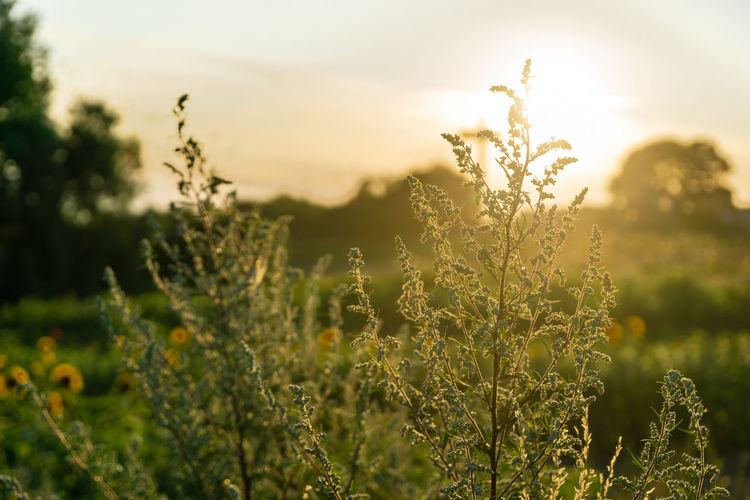 sunset over a field Sunset Day No People Tranquil Scene Close-up Outdoors Selective Focus Scenics - Nature Sky Tranquility Nature Field Focus On Foreground Sunlight Land Growth Plant Lens Flare Beauty In Nature Sun Landscape Bright EyeEm Best Shots EyeEm Nature Lover