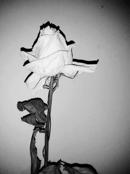 First Post 🌷 Rosé Dead Rose Dying Flower Photography Bylaurenfyfe LLimages Dead Flower B&w Flower Dying White Rose Blackshadow First Eyeem Photo EyeEm Best Shots EyeEm Flower EyeEm Nature Lover