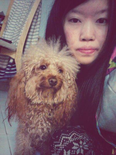 Choco Lovely Dog HongKong Cute Chok Poodle