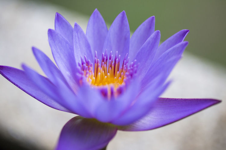 Close-up of purple water lily