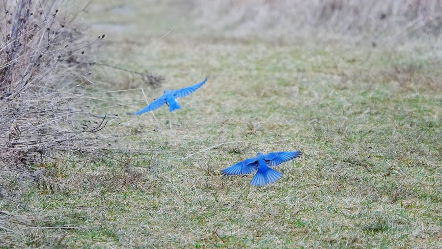 View of blue bird flying over land