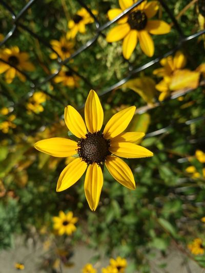 Yellow Flower Fragility Petal Nature Beauty In Nature Flower Head Growth Freshness Pollen Close-up Blooming Plant No People Outdoors Day Black-eyed Susan Horizontal Perfect Symmetrical Beauty In Nature B Perfection Perfect Nature Perfection Of Nature