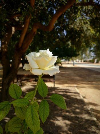 White Rose , Gardens , Rosa Blanca Jardines