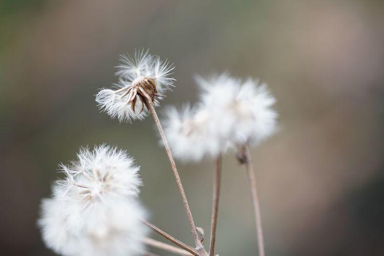I Masako201802 Nofilternoedit Koishikawa Korakuen Gardens Koishikawa Korakuen 105mm Micronikkor Micronikkor105mmf2.8 SONY A7ii Iota Windy Day Dandelion Puff Flower Fragility Dandelion Nature White Color Growth Dandelion Seed Beauty In Nature Plant Wildflower Stem Outdoors