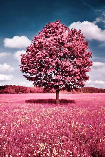 Tree Beauty In Nature Nature Growth Solitude Flower Field Sky Cloud - Sky Tranquility Landscape Tranquil Scene Blossom Lone Pink Color Outdoors Scenics Day One Person Fragility