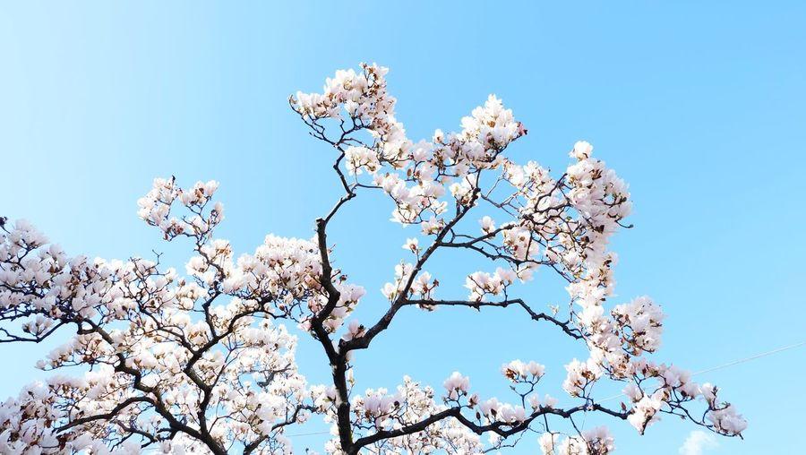 Tree Flower Clear Sky Branch Blue Bird Sky Close-up Plant Blossom Magnolia Spring