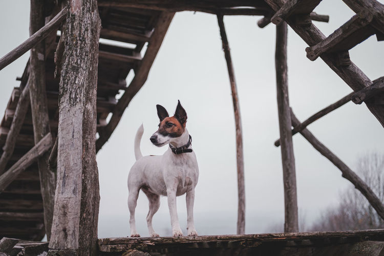 Low angle view of dog standing on boardwalk against sky