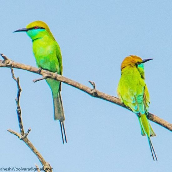 We assume that everything's becoming more efficien5, añd in an immediate sense that's true; our lives are better in many ways. But that improvement has been gained through a massively inefficient use of natural resources. - Paul Hawken. GREEN BEE-EATER @ Sunderban, West Bengal, India. - Like other bee-eaters this species is a richly coloured, slender bird. The sexes are not visually distinguishable. The entire plumage is bright green and tinged with blue especially on the chin and throat. The crown and upper back are tinged withgolden rufous. The flight feathers are rufous washed with green and tipped withblackish. A fine blackline runs in front of and behind the eye. The iris is crimson and the bill is black while the legs are dark grey. The feet are weak with the three toes joined at the base.. Green Bee-eater Green Bee-eater Bird Green Color Multi Colored Animal Wildlife Animals In The Wild Nature Outdoors Beauty In Nature Beautiful Birds Pair Of Birds Nikon Nightphotography Nature Photography Nature_collection Natural Beauty Bird Pair Ornithology  Beauty In Nature Nature_collection Landscape_collection EyeEmNatureLover Parrot Perching Branch Blue Full Length