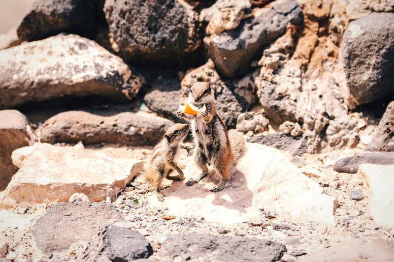 Can I have a bite too, byotch? Open Edit No People Animals Animal Animals In The Wild The Great Outdoors - 2016 EyeEm Awards Nature's Diversities Barbary Ground Squirrel Squirrel Cute Animals Cuteness Cutenessoverload Nature Wildlife Wild Animal Wildlife & Nature Fuerteventura Canary Islands Friends Animal Photography Two Animals Close-up Natural Beauty Life Animal Themes