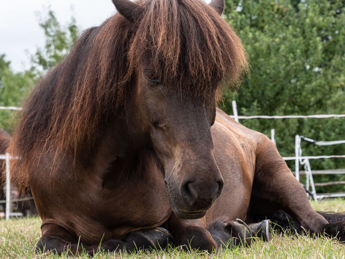Icelandic Horses Show in LWL Open Air Museum Detmold Animal Themes Animal Mammal Livestock Domestic Animals Domestic Vertebrate Plant One Animal Grass Horse Field Day Nature Land Brown No People Herbivorous Outdoors Animal Head  Resting Mane Looking In Camera