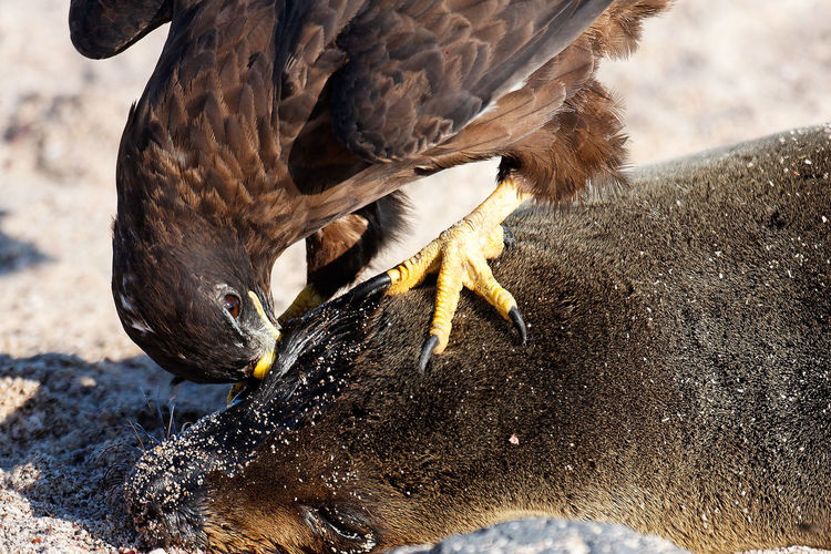 A raptor eating the dead sea lion on galapagos