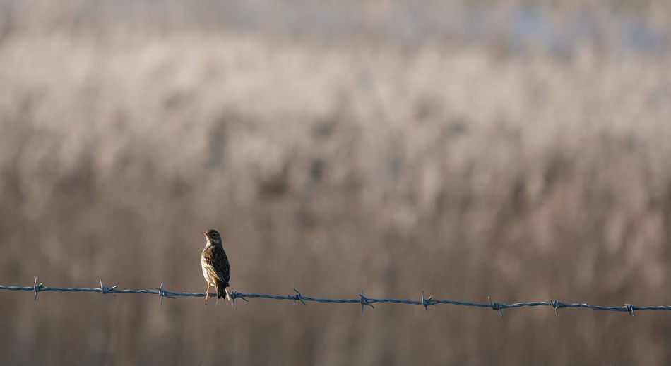 Close-up of meadow pipit perching on fence