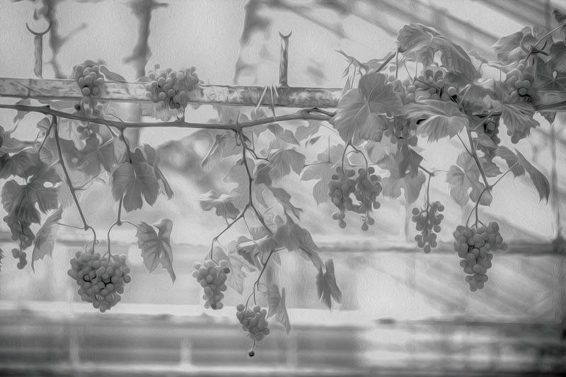 Grapes in black