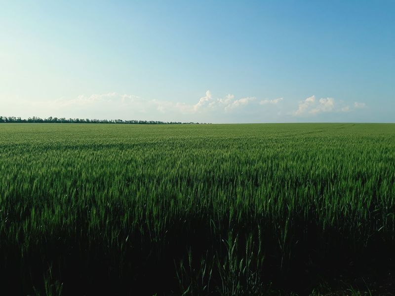 Agriculture Crop  Cereal Plant Field Farm Rural Scene Growth Sky Outdoors No People Tranquility Day Nature Clear Sky Scenics Food Freshness