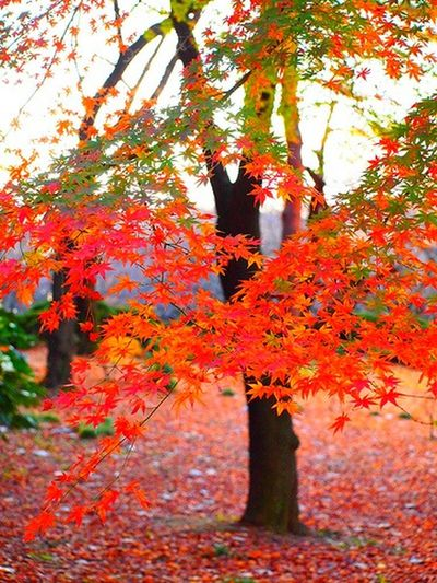 Trees Colors Of Autumn Autumn Leaves Autumn Colors Autumn Vivid Colours  Red Vivid Tokyo Tokyo,Japan