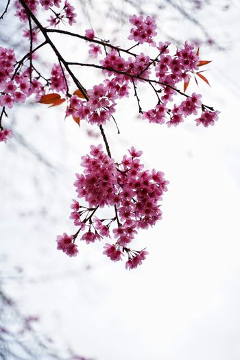 No People No Person Day Tree Flower Flower Head Branch Springtime Winter Blossom Plum Blossom Sky Close-up Cherry Tree Pollen In Bloom Plant Life Blooming Cherry Blossom