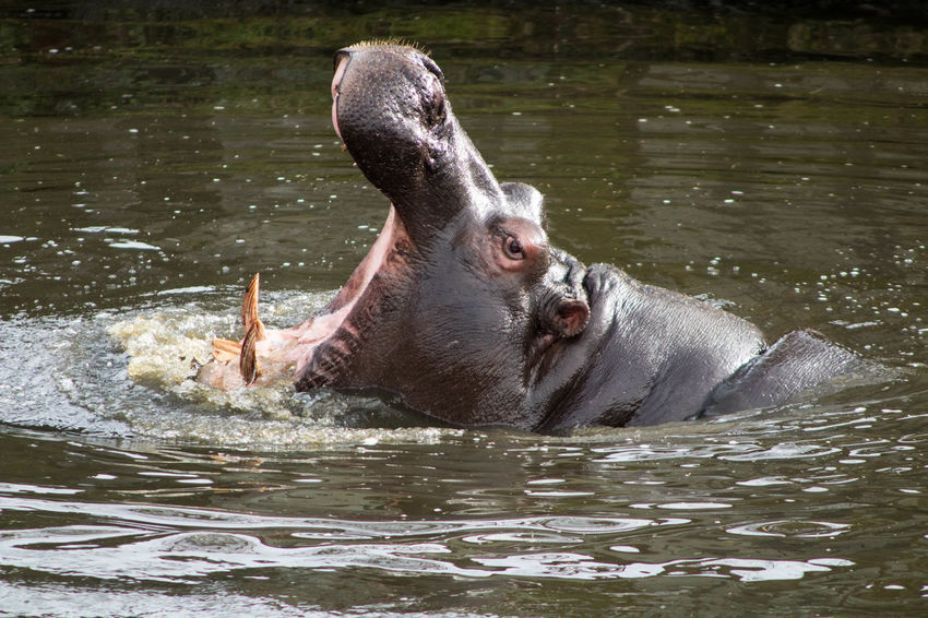 Animal Themes Animal Wildlife Close-up Day Hippopotamus Lake Nature No People Outdoors Water Waterfront
