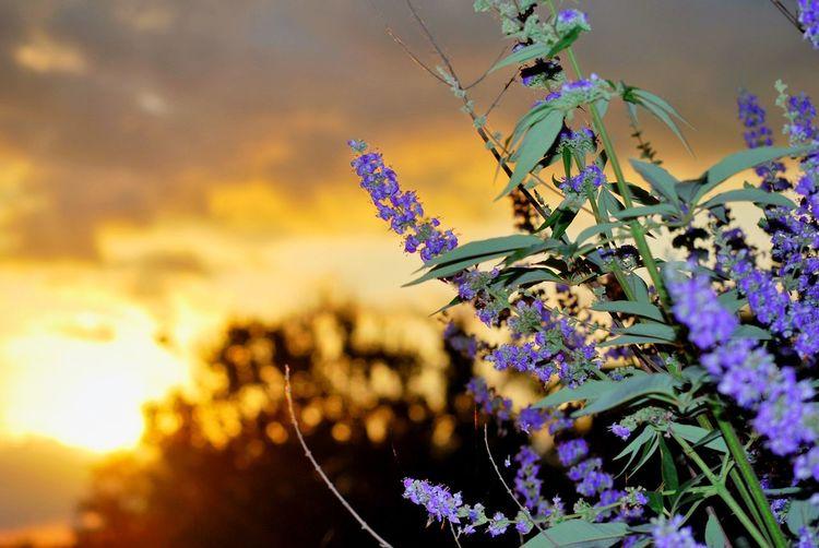 Fresh lavender blooming against sky