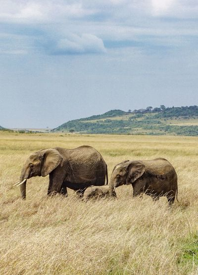 Elephant herd in Africa. Animal Themes Animal Animals In The Wild Mammal Animal Wildlife Sky Landscape Grass Environment Group Of Animals Plant Field Elephant Nature Safari Day Land Cloud - Sky No People Herbivorous African Elephant Outdoors Animal Family Animal Trunk