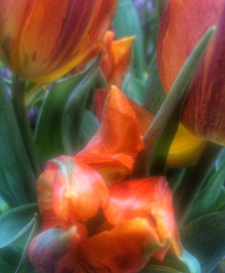 Orange By Motorola Orange EyeEm Best Edits EyeEm Nature Lover Plants Flowerporn Flowers In Between The Flowers~entre Las Flores Tulips Plant