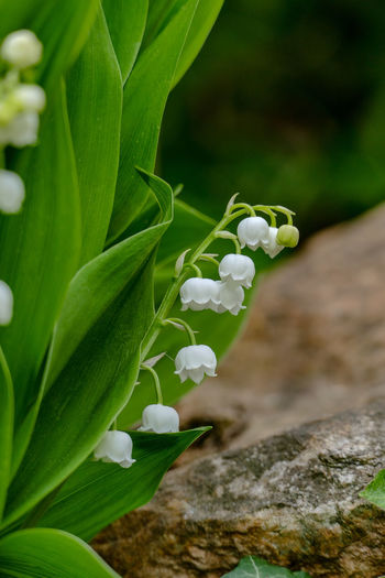 Maiglöckchen Lily Of The Valley Stein Beauty In Nature Blooming Close-up Convalaria Day Flower Fragility Freshness Green Color Growth Leaf Nature No People Outdoors Plant