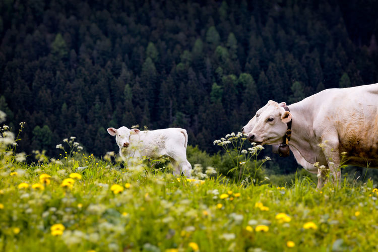 3 day old little cow Animal Love Agriculture Animal Cows Cows In A Field Domestic Animals Grass Group Of Animals Outdoors Rural Scene Young Cow
