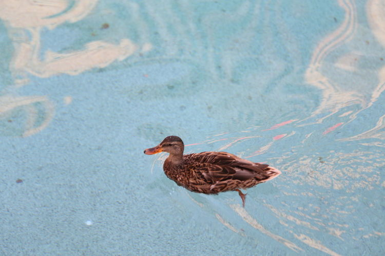 Duck swimming in shallow water