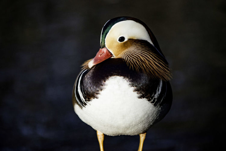 Close-Up Of Mandarin Duck By Lake