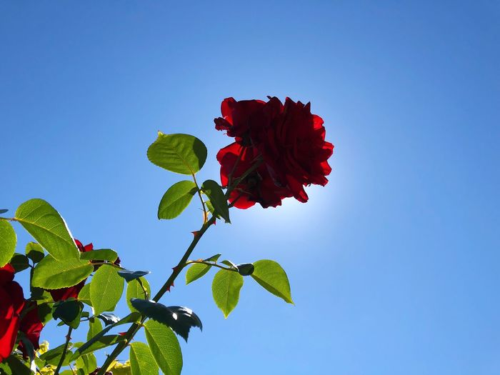 Rose🌹 Rose -