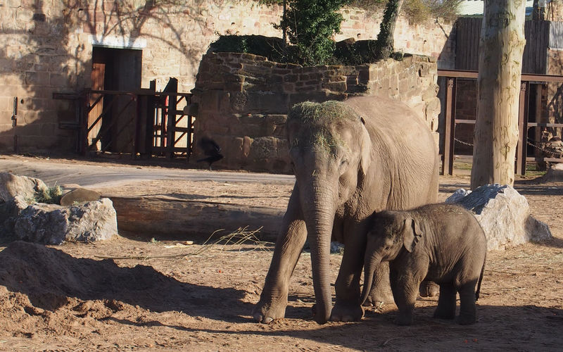 Elephant with calf on field at zoo