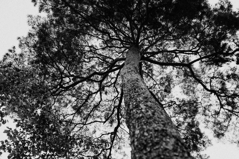 Bongeunsa Pine Tree Black And White Monochrome Seoul, Korea