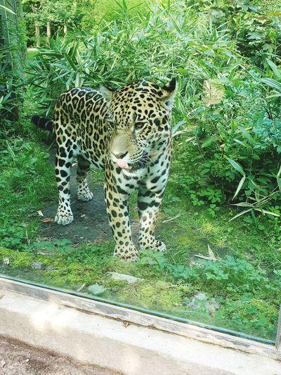 Leopard Feline