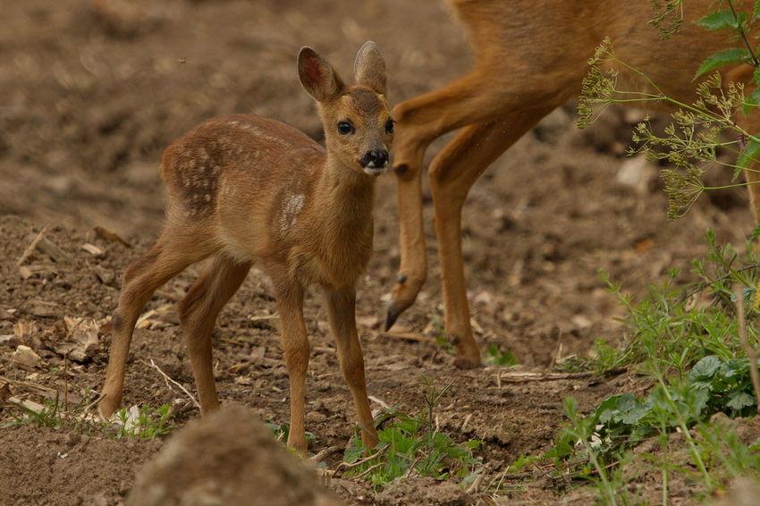 Animal Animal Themes Biesbosch Deer Mammal Nature Ree Reekalf Roe Deer Cub Young Animal