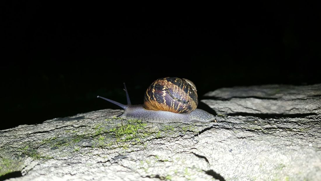 Snails Macro Macro Photography Fauna Slug Snail Slow Life 😊 Darknight The Week On EyeEm Pet Portraits EyeEmNewHere Shell Crawling Slow Invertebrate Animal Shell
