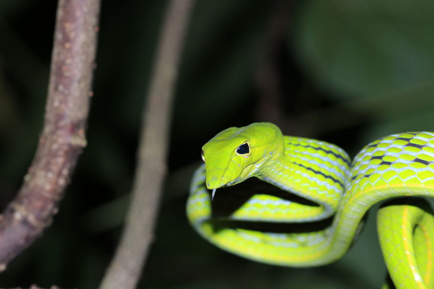 Green snake1 Reptile Tree Branch Beauty Full Length Multi Colored Tropical Climate Close-up