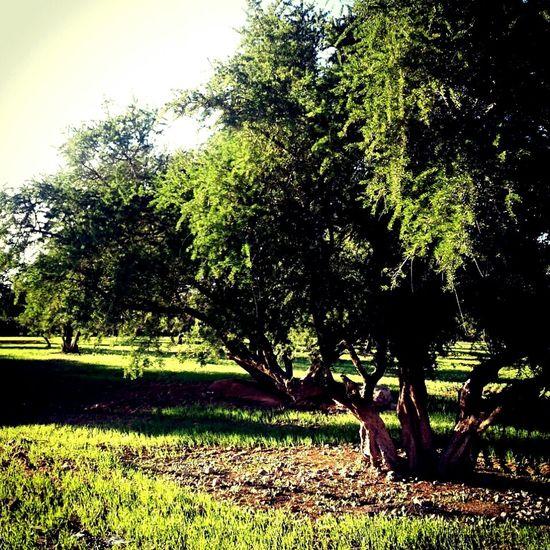 Morocco 🇲🇦 اغادير Tree Sky Beauty In Nature Day Nature Agadir Morocco Africa مغرب Adorable No People Beautiful Agadir Marina شجره Argan Oil Cream Argan Trees
