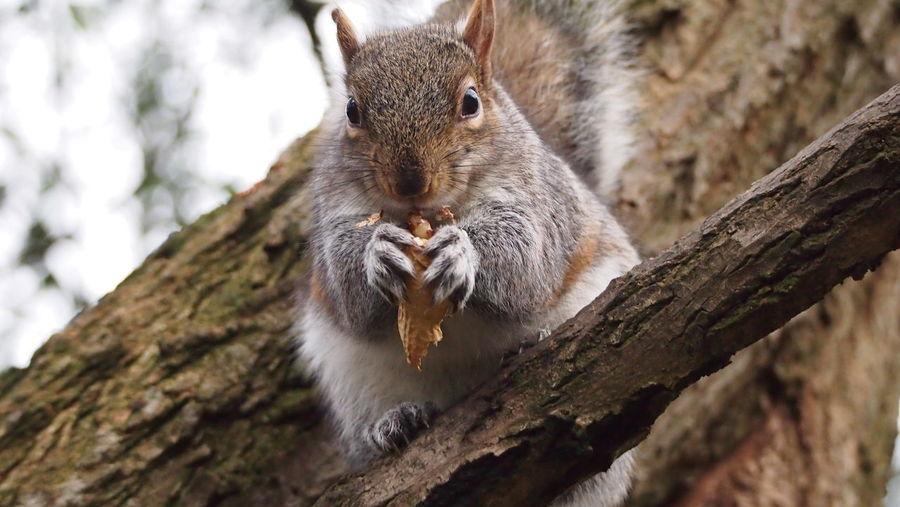 Low angle portrait of squirrel holding peanut while sitting on tree