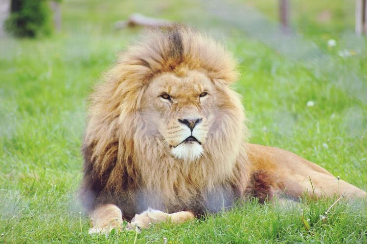 The king 🦁 Grass Mammal Animals In The Wild Nature Lion - Feline Close-up No People Portrait Outdoors Animal Themes Day