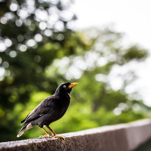 A mynah bird Animal Themes Avian Beauty In Nature Bird Black Color Close-up Day Focus On Foreground Mynah Nature No People Outdoors Perched Perching Selective Focus Sky Sparrow Wildlife