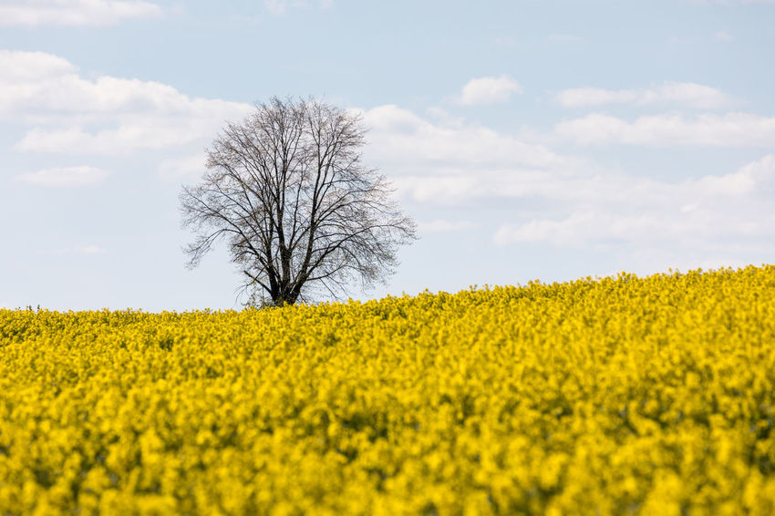 Agriculture Bare Tree Beauty In Nature Clouds Day Field Flower Fragility Freshness Growth Landscape Nature No People Oilseed Rape Outdoors Rural Scene Scenics Sky Spring Tranquil Scene Tranquility Tree Yellow