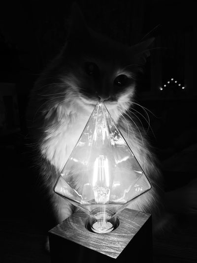 Cat looking at illuminated light bulb