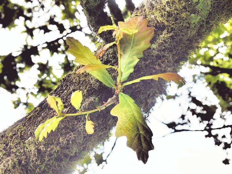 Oak Leaf Oak Leaves Sessile Oak Oak Tree Oak Trees Foliage Nature Oak Wood Broadleaf Ireland