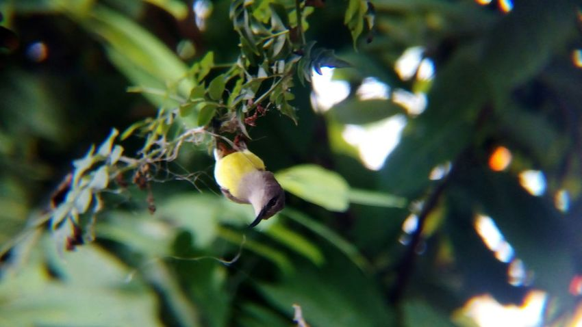 Day 1 of the sunbird building its nest in my garden.. Close-up No People Leaf Growth Nature Branch Day Tree Outdoors Freshness Shot With Mobile Clip Lens Perching Sunbird Bird
